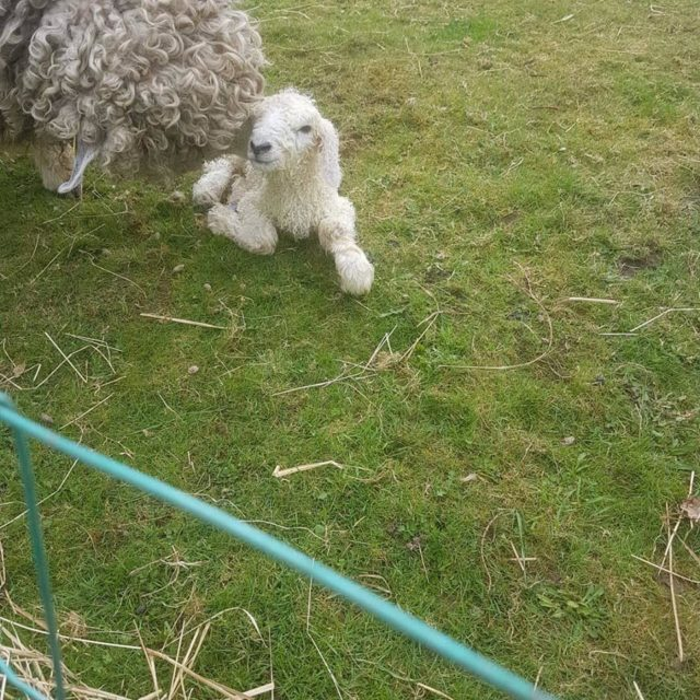 First ever lamb born